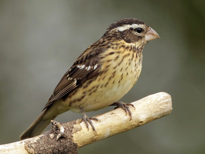 Name:  female grosbeak.jpg