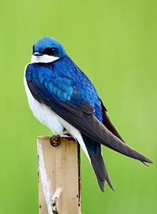 Name:  Tree_swallow_at_Stroud_Preserve.jpg