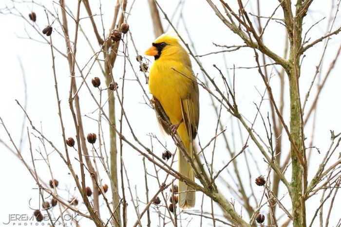 Name:  yellow-cardinal-ff9f15f27294cf3a.jpg Views: 5 Size:  73.9 KB