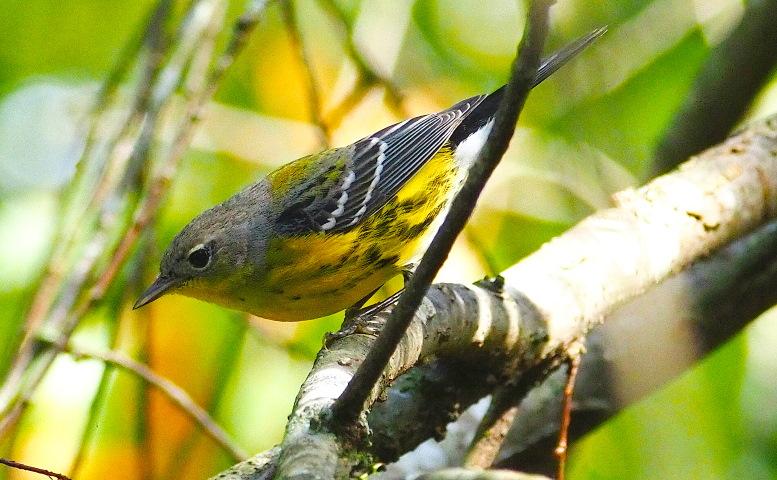 Name:  Magnolia Warbler777.jpg Views: 5 Size:  183.7 KB