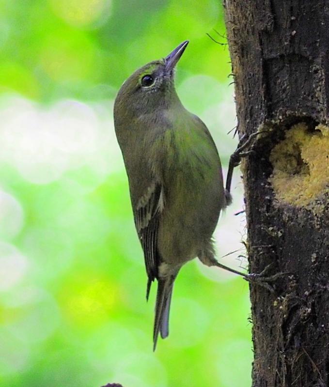 Name:  Pine Warbler777.jpg Views: 4 Size:  63.1 KB