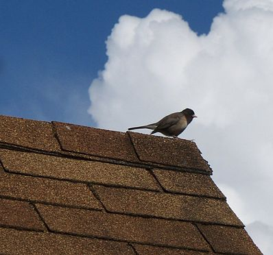 Name:  398px-Song_bird_perched_on_asphalt_shingle_roof.JPG