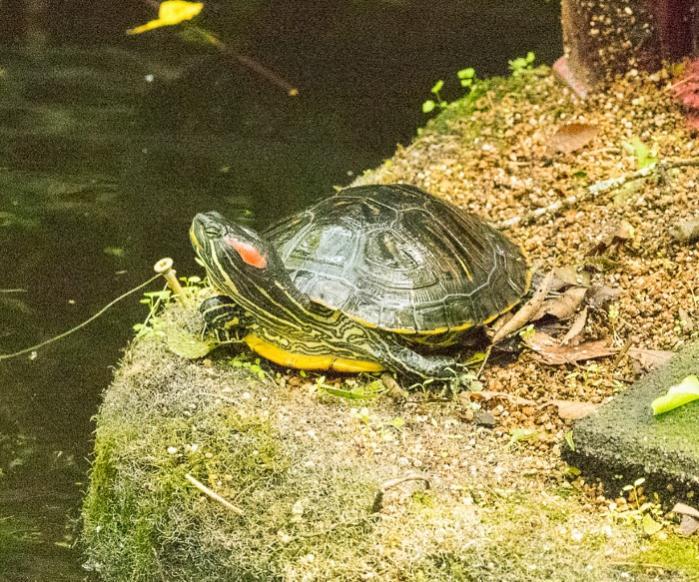 Name:  turtle (1 of 1)-3700.jpg Views: 638 Size:  110.2 KB