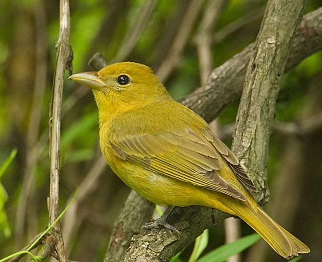Name:  summer tanager female.jpg Views: 92 Size:  75.5 KB
