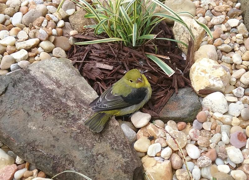 Name:  yellow bird..jpg Views: 17 Size:  130.9 KB
