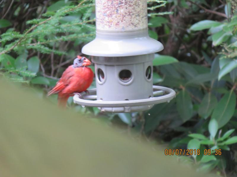 Name:  bald cardinal.jpg Views: 12 Size:  45.3 KB