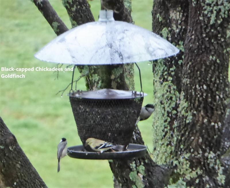 Name:  chickadees & goldfinch.jpg Views: 19 Size:  74.8 KB