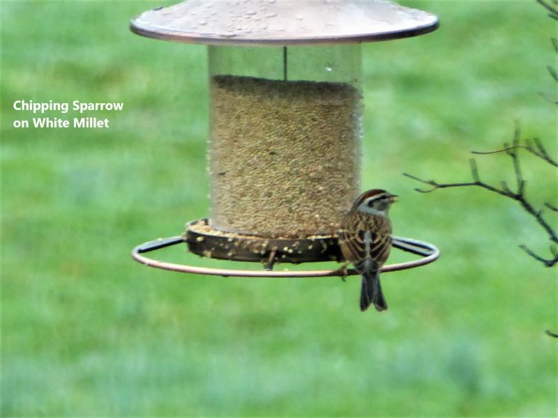 Name:  chipping sparrow millet.jpg Views: 17 Size:  46.2 KB