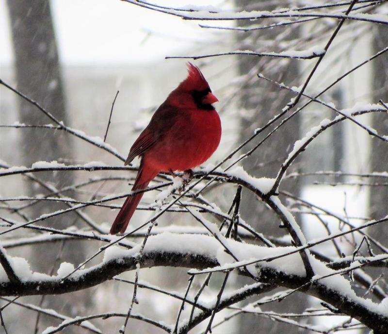 Name:  CARDINAL-SNOW.jpg Views: 15 Size:  85.8 KB