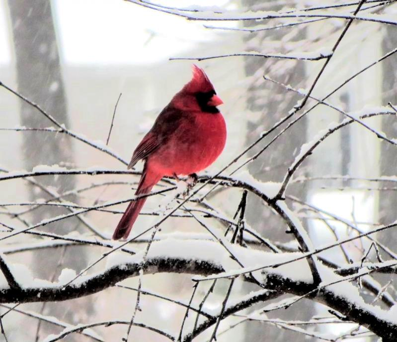 Name:  CARDINAL-SNOWa.jpg Views: 13 Size:  78.5 KB