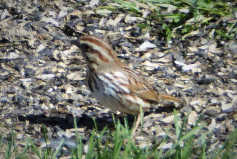 Name:  song sparrow.jpg Views: 12 Size:  101.6 KB