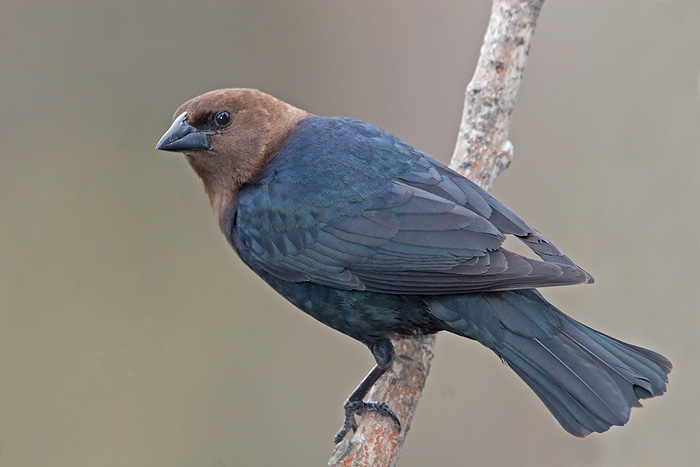 Name:  cowbird.jpg