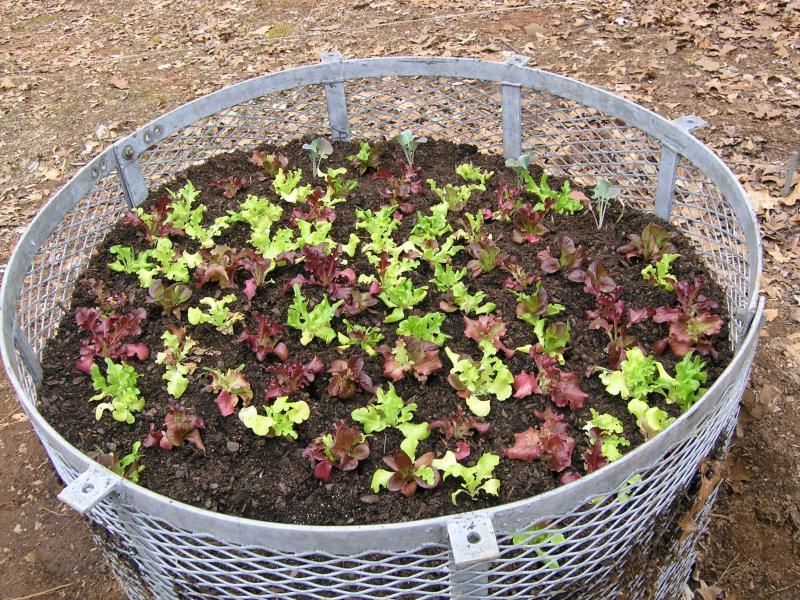 Name:  leaf lettuce (1 of 1).jpg Views: 127 Size:  164.0 KB