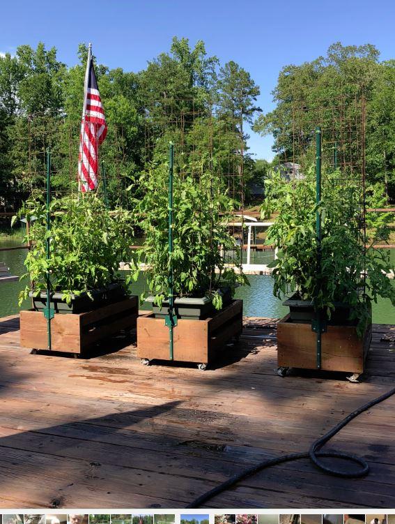 Name:  junetomatoes.JPG Views: 36 Size:  126.9 KB