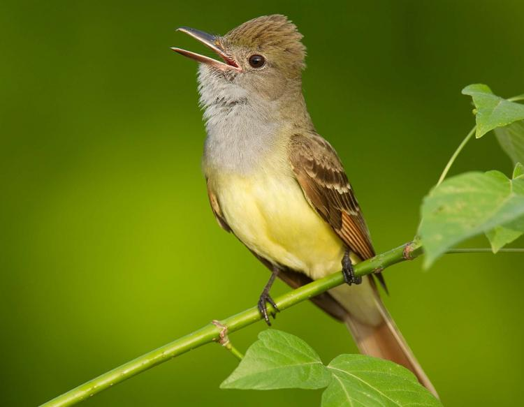 Name:  Great_Crested_Flycatcher_.jpg Views: 16 Size:  35.0 KB